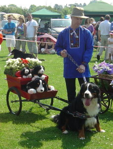 Mervyn with Harvey in the Swiss Carting Class at the BMDC of GB Garden Party 2008