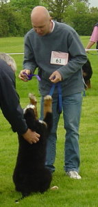 Look Dad didn't I do well.  Harvey at 12 Weeks getting placed in one of his first fun classes at the Bernese Mountain Dog Club of Great Britain Garden Party 2006