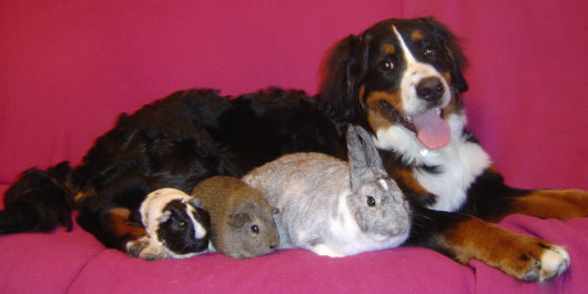 Sophie Bernese with Rosy the Rabbit,  Wilma the Brown Guinea Pig and Betty the Black and White Guinea Pig
